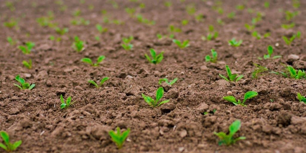 Nuoria taimia pellolla.